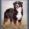 Bernese Mountain Dog - Ch Bernsteph Miss Dior JW ShCM