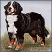 Bernese - Ch Monalou Nelly Pledge