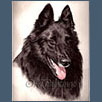 Belgian Shepherd Dog - Kash