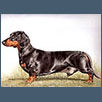 Dachshund - Ch Seatris Laced with Success