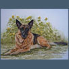 German Shepherd Dog - Zac