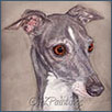Italian Greyhound - Dalinset Despina of Mieleth