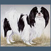 Japanese Chin - Ellinghurst Mr Majestik