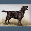 Labrador Retriever - Ch Berolee Moons Magic Star JW
