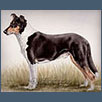 Smooth Collie - Ch Moon Walker from Misstoff